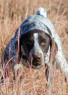 German short hair pointer. My uncle and I raised and trained them.