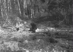 BigFoot Sightings from Around the Worls, Sasquatch, Yowi, Abonimable Snowman, All Sightings of Large Humanlike Creatures Aliens And Ufos, Ancient Aliens, Scary Art, Creepy, Bigfoot Sasquatch, Real Bigfoot, Bigfoot Pictures, Pie Grande, Finding Bigfoot