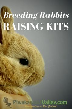 Breeding rabbits is a complex topic, when and at what age do you breed them? How do you look after the kits? What about breeding in a rabbit colony?