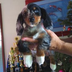 Dachshund puppy. Long haired dapple. Look at those cute white paws!