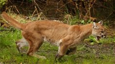 Wildlife New Brunswick, Canada | cougar is seen in this file photo. (AP / The Daily Herald, Mark ...