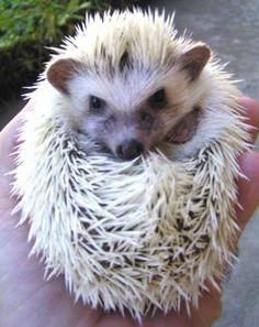 charcoal white pygmy hedgehog