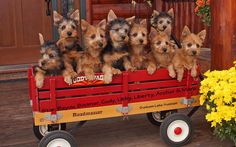 We are getting a new puppy from Dunham Lake Australian Terriers!!! I'm so excited :-)