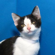 Kelby is an adoptable Domestic Short Hair-Black And White Cat in Springfield, IL.  ...