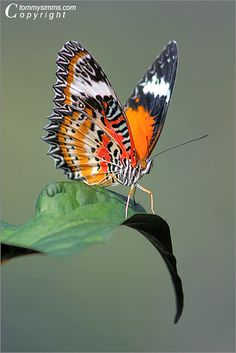 Orange with black and white butterfly