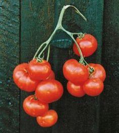 """Eko Högväxande tomat, Dansk Export, Mycket tålig, gammal trotjänare, tidig, pålitlig. En """"vanlig"""" tomat. 25kr"""