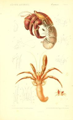 v. 9 Atlas (Crustacés) - Le règne animal distribué d'après son organisation, -17 volume French natural history w/intro by Georges Cuvier, pub 1836 to 1849