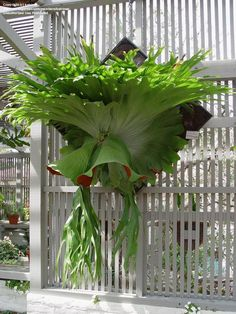 I have a baby one in the patio garden! Today's bloom is Staghorn Fern (Platycerium superbum) Unusual Plants, Rare Plants, Exotic Plants, Tropical Garden, Tropical Plants, Beautiful Gardens, Beautiful Flowers, Plantas Bonsai, Trees To Plant
