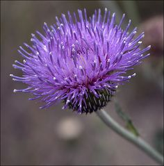 Texas Thistle, I named a subdivision Thistle Creek in Shirtz, Texas