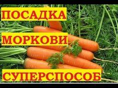 Как посадить морковь. Подготовка семян к быстрому проращиванию. Суперспособ! Все о цветах , рассаде, урожае и способах выращивания орхидей.Здесь я делюсь сво...