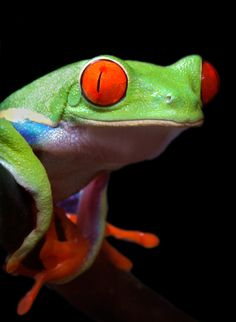 The Red-eyed Tree Frog; photograph by Edgar Monzón