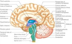 Somatic nervous system and special senses 3 of 5 hearing med somatic nervous system and special senses 3 of 5 hearing med pinterest nervous system and school ccuart Choice Image