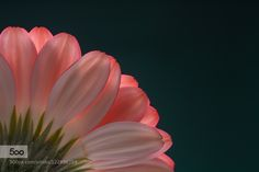 """""""Red plus white make pink..."""" by dirkvanderveen. Please Like http://fb.me/go4photos and Follow @go4fotos Thank You. :-)"""