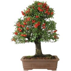 Bonsai Pyracantha 32 anos - Ideal Bonsai
