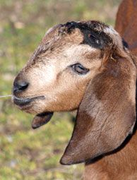Disbudding Goats, and why it could save them from injury.