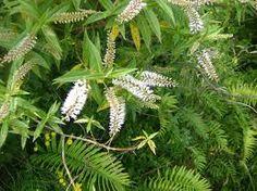 Hebe salicifolia - Google Search