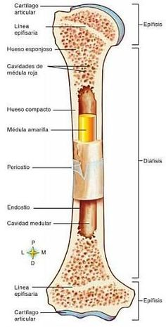 Análisis Integral del Movimiento Humano : Sistema Oseo Medicine Notes, Medicine Student, Anatomy Bones, Body Anatomy, Medical Anatomy, Human Anatomy And Physiology, Nursing Notes, Med Student, Veterinary Medicine