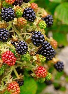health benefits of blackberries  http://www.womenhealthtips.net/blackberry-nutrition-facts.html    Rich in vitamins, minerals, and fiber, blackberries make a nutritious treat. Packed with antioxidants, blackberries also help combat damage from free radicals.