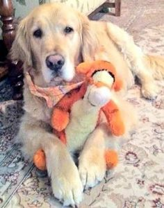 This sweet golden retriever loves his Tigger! I Love Dogs, Puppy Love, Mini Goldendoodle Puppies, Best Dogs For Families, Dogs And Puppies, Doggies, Best Dog Breeds, Fur Babies, Animal Babies