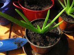 Orvos a virágcserépben - több mint 160 hatóanyagot tartalmaz Aloe Vera, Mint, Plants, Plant, Planting, Planets, Peppermint