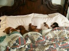 awwww...bed of Doxies. This is Larry & me when we go to bed. We've rolled out`a the bed before, because of no room...I Love It!!