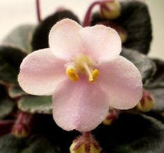 Texas Space Dust (8771) 10/28/1998 (H. Pittman) Semidouble light pink pansy. Variegated green and white, plain. Miniature (DAVS 1518, TX Hyb). The African Violet Society of America (AVSA) has a wealth of information about our beloved African Violets. | eBay!