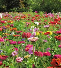 For those of us who like a jolly, bright mix of colours, sow this combination including zinnias, cosmos, malopes, and much more, lots of traditional cottage garden favourites which will flower together not just for weeks but months.