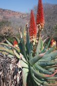 Aloe Mutabilis Pillans -        Walter Sisulu Batanical Gardens