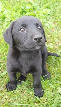 this is what ace looked like when he was a little nugget<3 can't wait until the day I can get my own lab!
