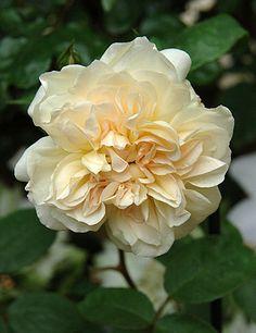 Tea Noisette Rose: Rosa 'Jaune Desprez' AKA 'Desprez à Fleurs Jaunes' (France, 1830)