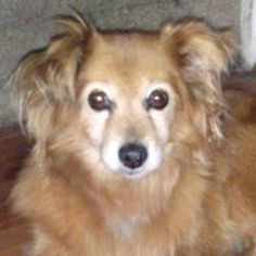Foxy is an adoptable Pomeranian Dog in Catharpin, VA. Foxy is looking for a very special home with a very special person. A 9 yr old Pomeranian mix who was turned out into the streets to fend for hers...