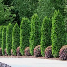 Create a solid living wall of striking emerald hues from our Emerald Green Thuja Arborvitaes. Hedge Trees, Evergreen Hedge, Privacy Trees, Privacy Hedge, Privacy Plants, Privacy Fences, Thuja Green Giant, Arborvitae Tree, Outdoors