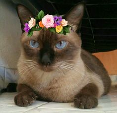 My beautiful Dandan, cat siamese!! - Tap the link now to see all of our cool cat collections!