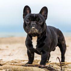 French Bulldog at the Beach❤️❤️