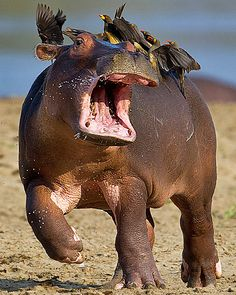 Hippopotamus Baby and  Oxpeckers by Marc Mol