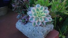 aeonium sunburst growing in a rock. Rock planter courtesy of www.gabbysgardens.com