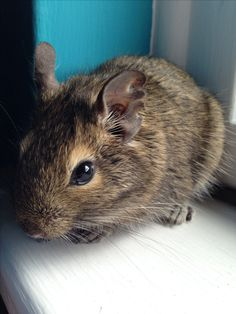 Klaus the degu Gerbil, Hamsters, Rodents, Small Animals, Animals And Pets, Funny Animals, Degu, Hamster Care, Cute Creatures