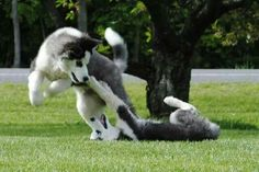 Soulmate24.com ♥Gorgeous Siberian Husky puppies at play. Mens Style