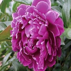100+ Peony Purple Flower Seeds , Under The Sun Seeds