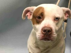 ***URGENT! 10/17/16  Brooklyn Center ROCKY – A1093574 MALE, WHITE / TAN, AM PIT BULL TER MIX, 6 yrs OWNER SUR – EVALUATE, NO HOLD Reason NO TIME Intake condition EXAM REQ Intake Date 10/15/2016, From NY 11691, DueOut Date 10/15/2016,
