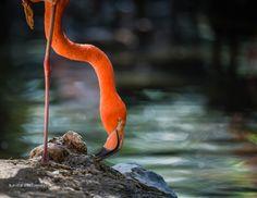 Denver Zoo Flamingo