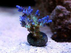 SPS Corals for your Reef Aquarium 122011- Aquacon.com