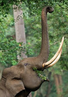 Elephant eating leaves.