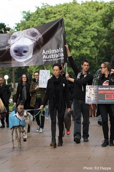 March for the Murdered Million Greyhounds, 7/24/16 - Sydney.  Milie, the 'Bionic Greyhound' is leading the parade!