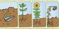 Life Cycle of a Sunflower Display Posters (Australia) Science Activities, Science Projects, Growing Sunflowers From Seed, Sunflower Life Cycle, Kindergarten Posters, Posters Australia, Legos, Banner Design Inspiration, The Tiny Seed
