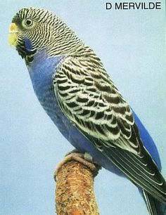 PIED budgerigar - Google Search