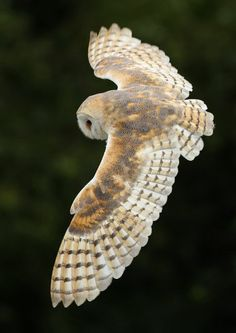Barn Owl In flight - Raptor