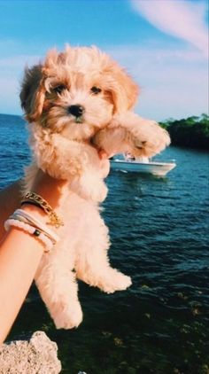 Super Cute Puppies, Cute Baby Dogs, Cute Little Puppies, Cute Dogs And Puppies, Cute Little Animals, Cute Funny Animals, Doggies, Baby Puppies, Cavapoo Puppies