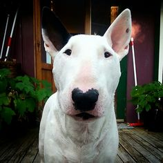 Poteau. The English bull terrier