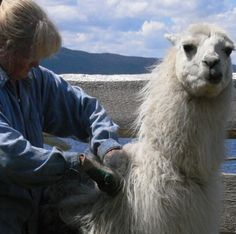 Shearing time for the llama herd